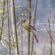 Mrs_Cardinal
